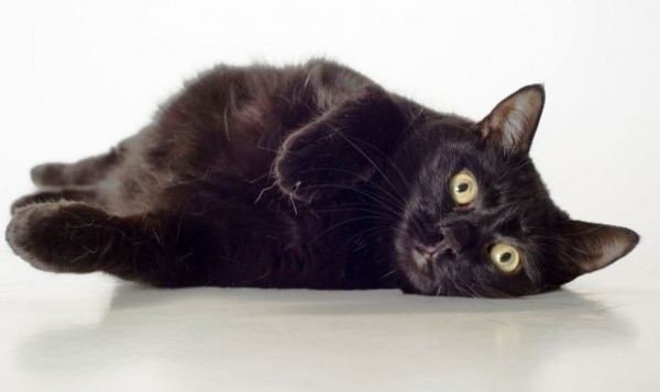 "Black Cat ""Midnight"" at Fairfax County Animal Shelter/Photo courtesy of Fairfax County"
