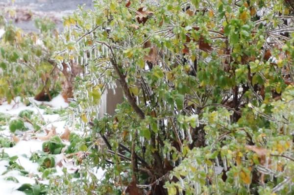 Ice-covered bush in Reston on Dec. 9, 2013