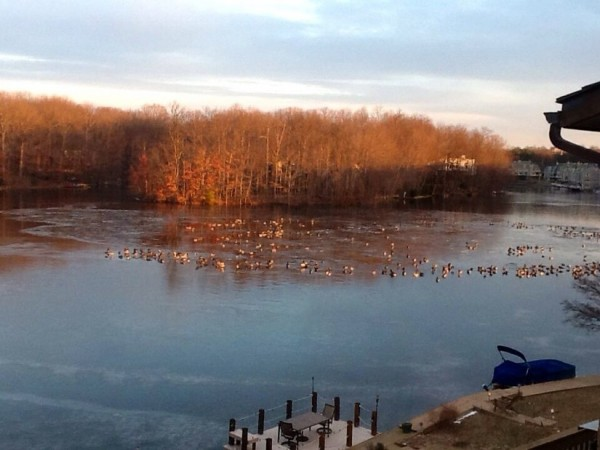 Geese on partially frozen Lake Thoreau/Credit: Carole Burnett