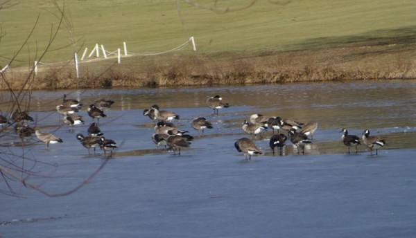 Ducks on thin ice in Reston/Credit: Dave Lepkowski