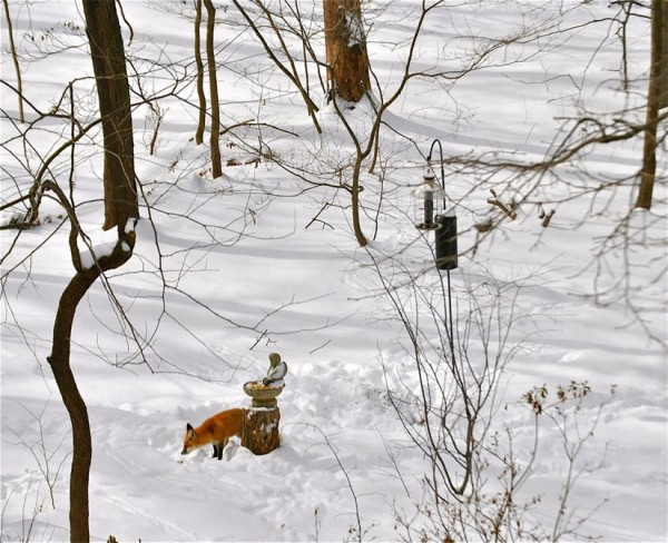 Fox in snow in South Reston/Credit: Joy Every