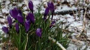 Crocuses in snow/Credit: Tina C. vis Twitter