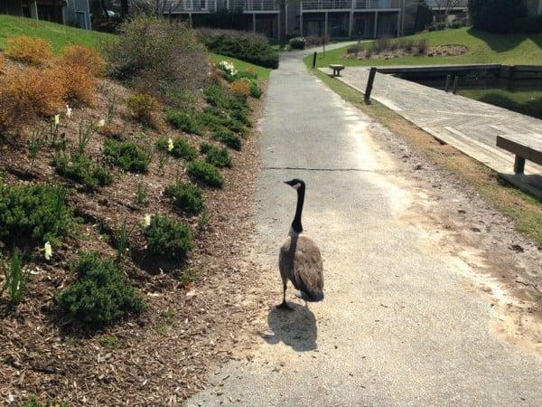 Geese by Lake Thoreau