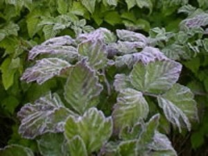 Frost damaged plants/Credit: The Garden Helper