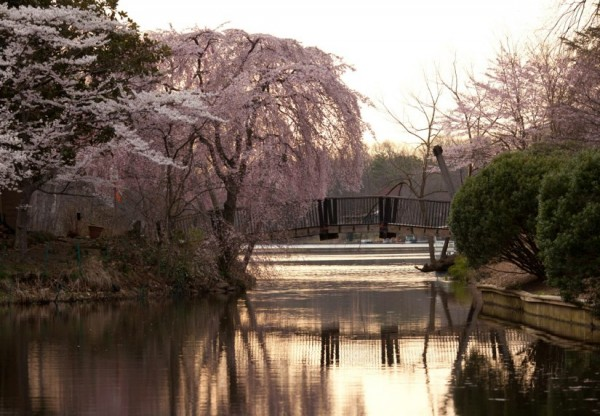 Cherry Blossoms at Lake Anne/Credit: Charlotte Geary