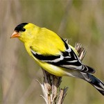 American Goldfinch/Credit: Allaboutbirds.org