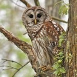 Barred Owl/Credit: Allaboutbirds.org