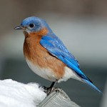 Eastern Bluebird/Credit: All About Birds