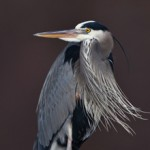 Great Blue Heron/Credit: Allaboutbirds.org