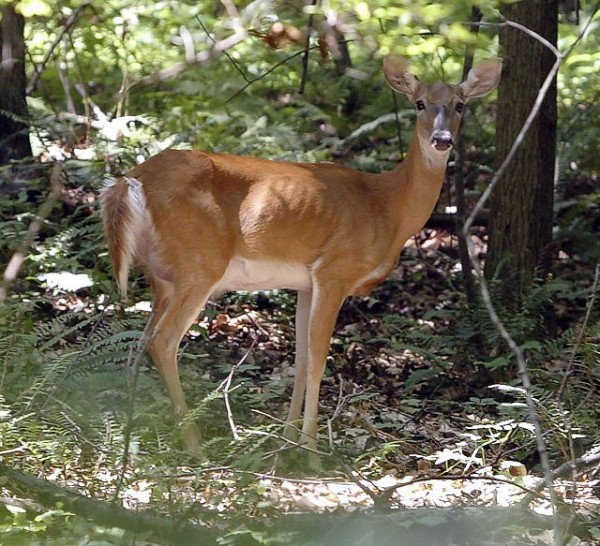 Deer in Reston/Credit: Linda Thomas via Flickr