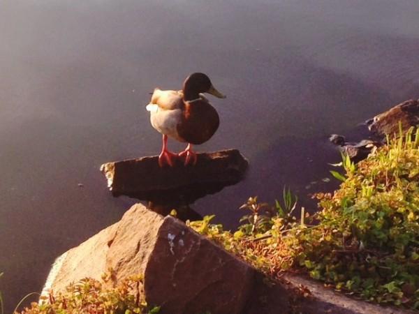 A duck takes a break at Lake Thoreau