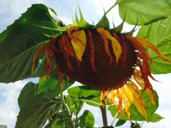 Sunflower in RA Community Garden