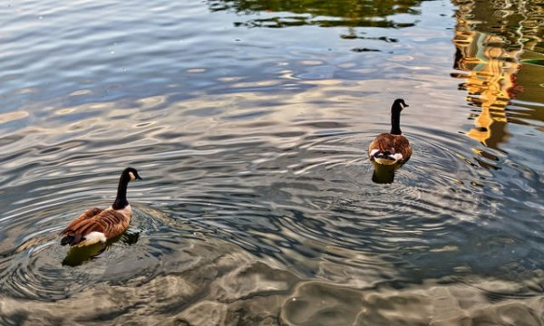 Ducks on Lake Thoreau/Credit: Brendan Ross via Flickr