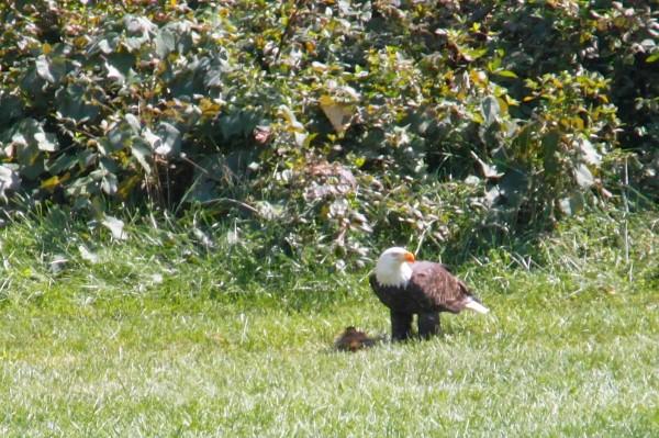 Eagle stops by Forest Edge ES Thursday/Creidt: Martha Furniss