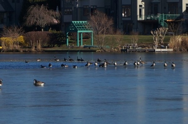 Ducks at Lake Newport