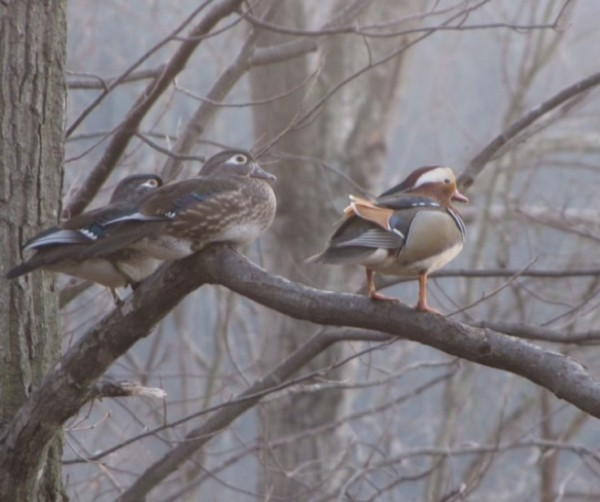 Possible rare Mandarin Duck in Reston/Courtesy Beth Burns