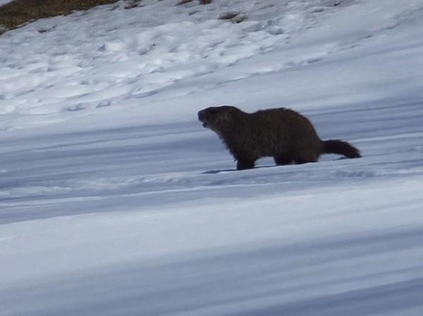 Groundhog at Reston National Golf Course/Credit: Trish Strat
