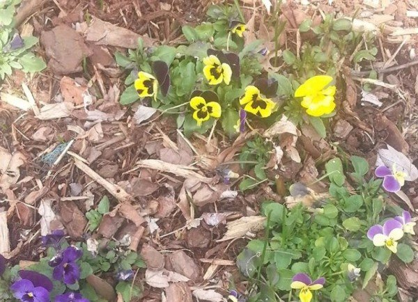 First signs of spring in Reston/Credit: Ken Plum via Facebook