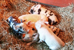 Piglets at Reston Zoo/Credit: Reston Zoo via Facebook