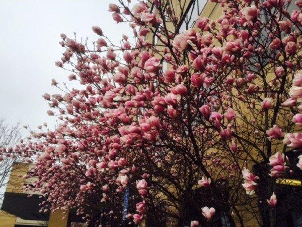 Trees blooming near Reston Hospital Center