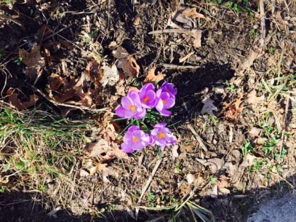 Crocus in Reston