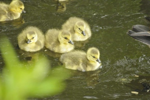 Goslings on Lake Audubon/Credit: Sam Simon