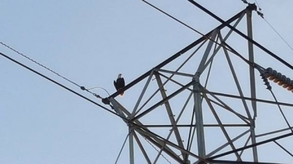Bald eagle on Reston electric wires in Reston/Charlie Bobbish via Twitter