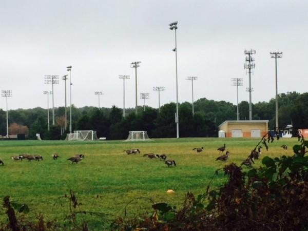 Geese on SLHS grass fields