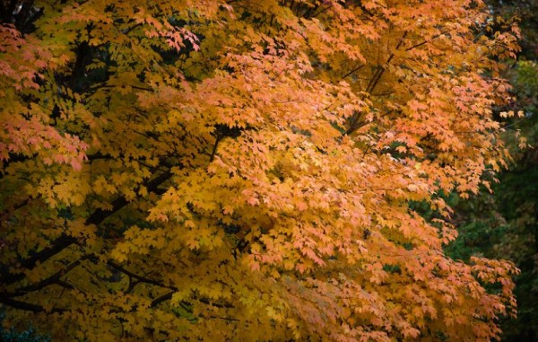 Autumn tree in Reston/Credit: Vita Images