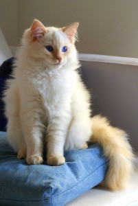 """Flame point Ragdoll"" by Cássia Afini/Creative Commons"