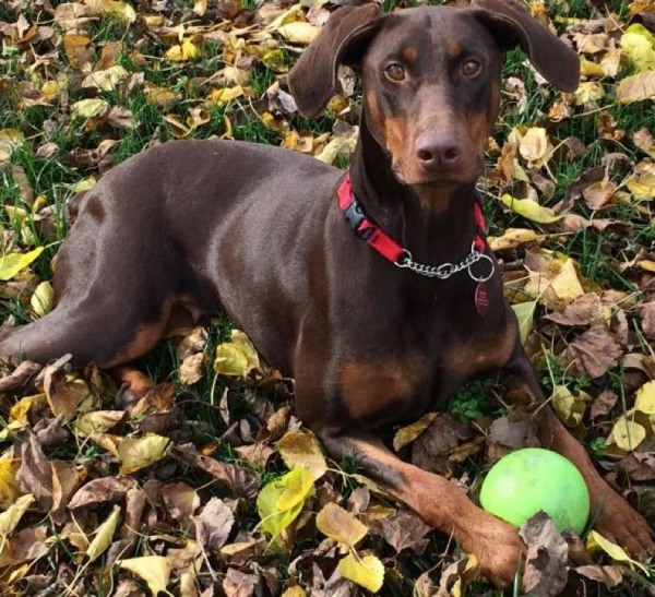 Autumn the Doberman