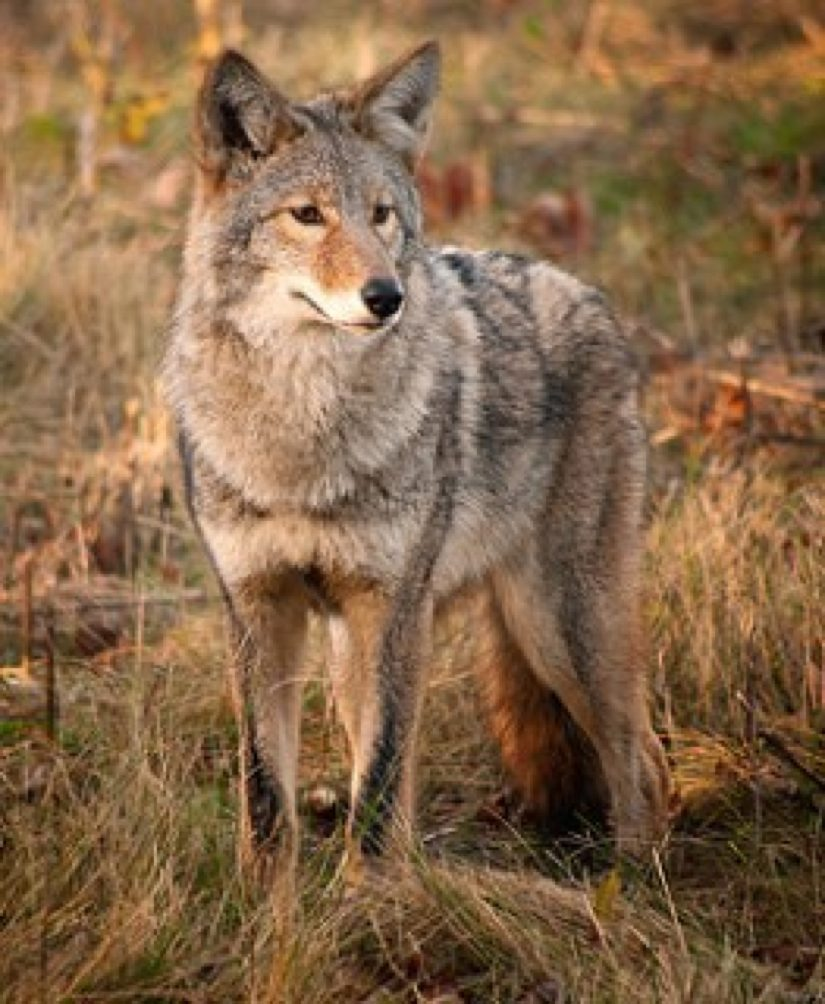 Coyote Sightings Recently Reported by Reston Residents ...