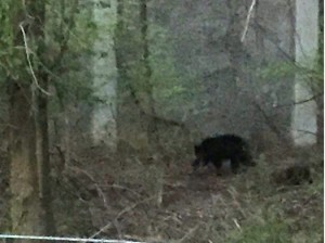 Bears in Oakton/Credit FCPD