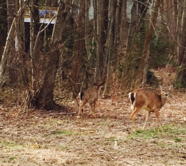 Deer on RA path near Lake Thoreau