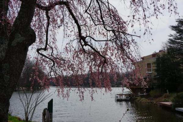 Cherry Blossoms Lake Anne1