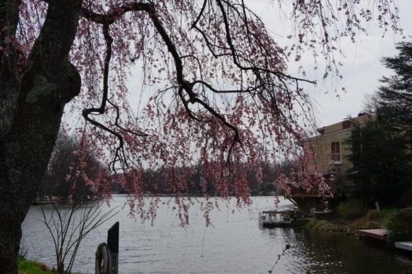 Cherry Blossoms Lake Anne1
