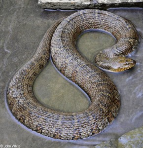 North American Water Snake/Courtesy Fairfax County Park Authority