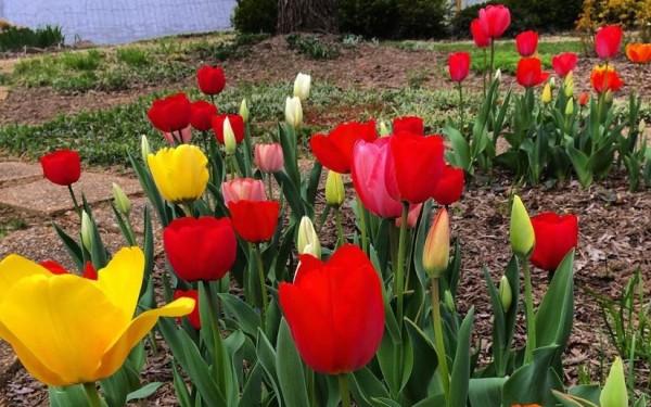 Tulips by Lake Audubon/Credit: Joy Every