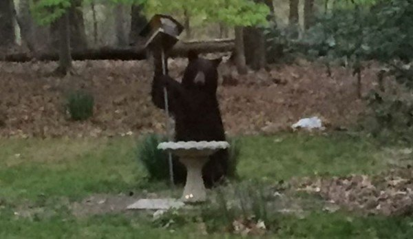 Bear in Great Falls/FCPD