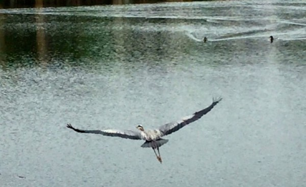 Heron on Lake Thoreau