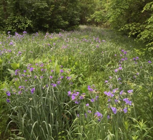 Wildflower meadow in Reston/Credit: JGS via twitter
