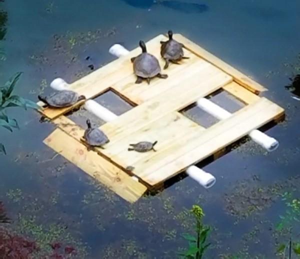 Turtles on new turtle platform on Lake Thoreau/Ruth Mulkerin via RA
