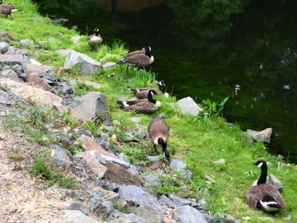 Geese by Lake Audubon