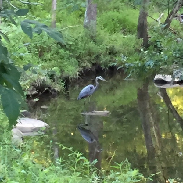 Heron in Reston/Credit: JGS via Twitter