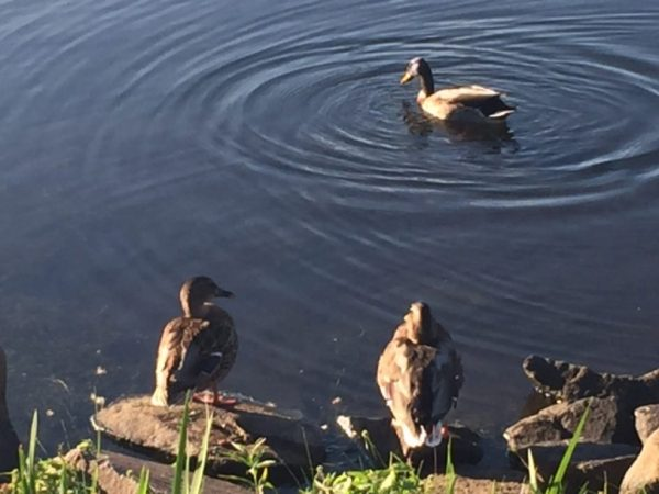 Ducks in Lake Thoreau