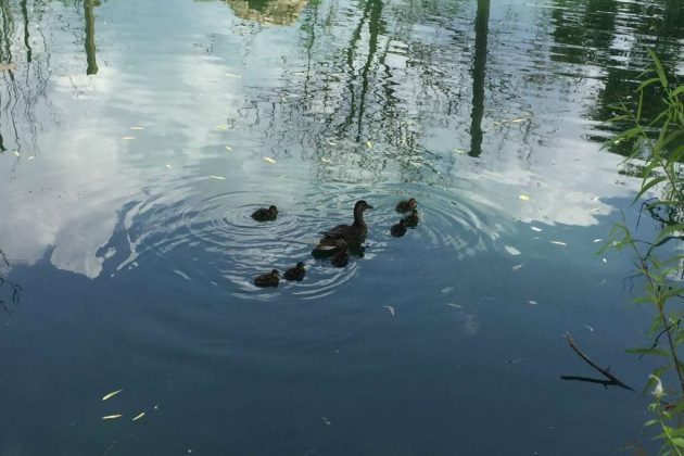 A duck family swims around the pond, where guests can walk around