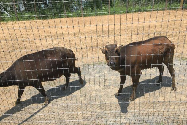 The anoa are so rare that there are only 70 in the country