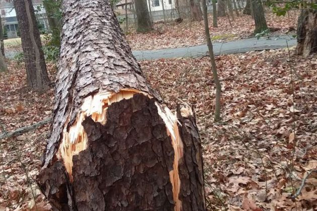 Cracked trunk near Reston Parkway and Glade Drive (Photo by Gary Smith)
